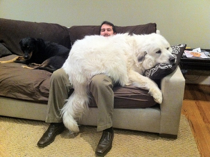 giant dog thinks he is lap dog