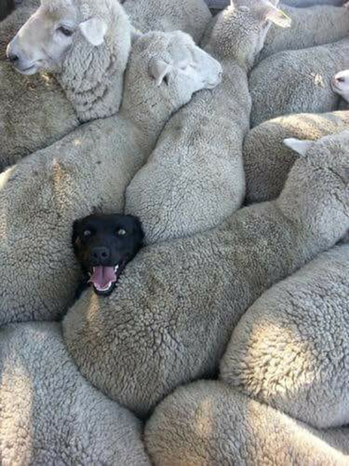 dog trapped in sheep