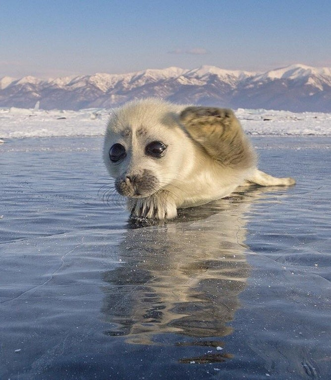 baby seal on ice