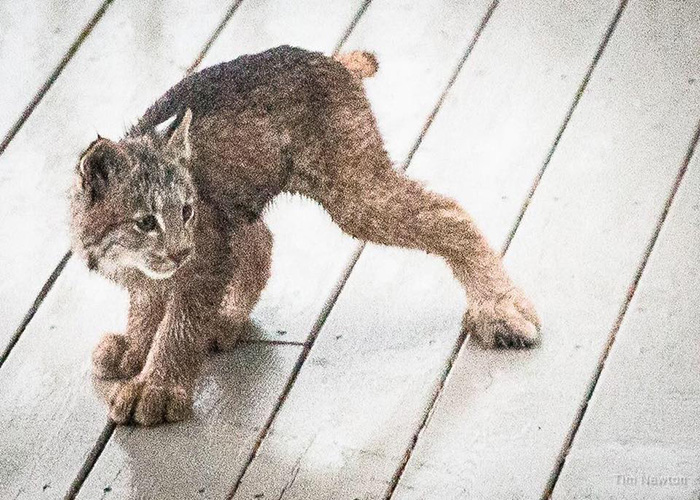 lynx family cubs on deck