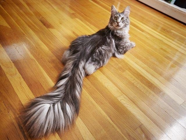 longest cat tail in the world