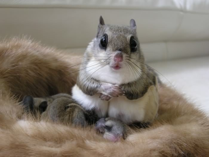 flying squirrel momma with her babies