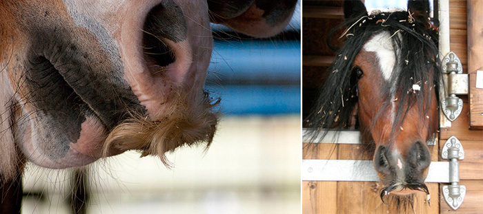 can horses grow mustaches