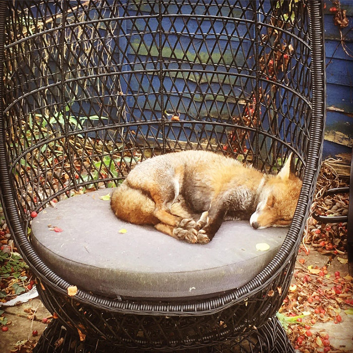 caught fox napping in garden
