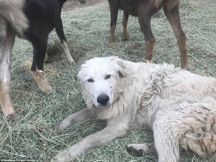 goat herding dog alive after fires