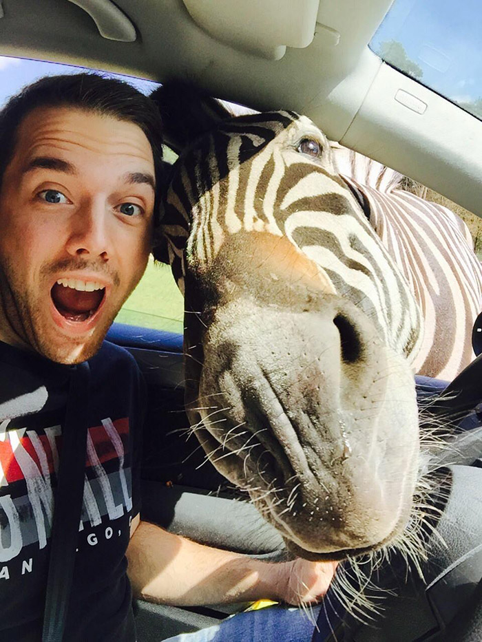 zebra selfie in car