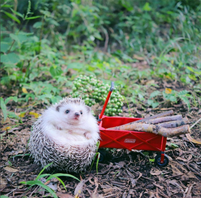 hedgehog camping pictures