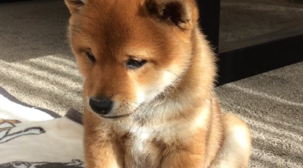This adorable shiba inu puppy was born with a permanent sad face voltagebd Gallery