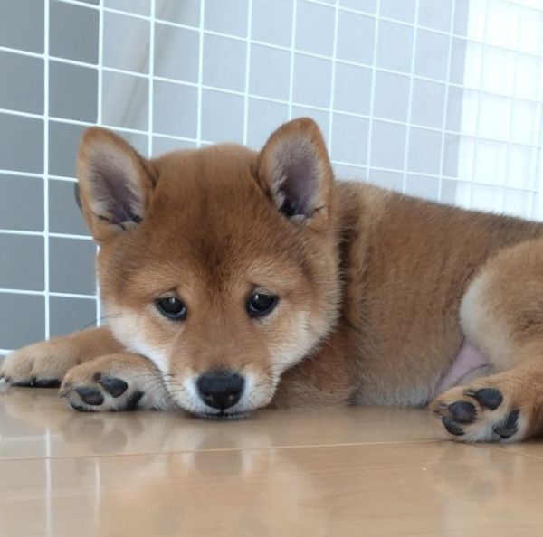 This Adorable Shiba Inu Puppy Was Born With A Permanent Sad Face Mm0d2-puppy-sad-face-2
