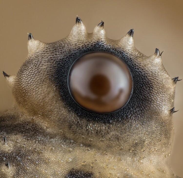 daddy long leg eye under microscope