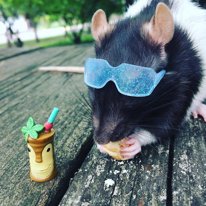 rat enjoys snack and tropical drink
