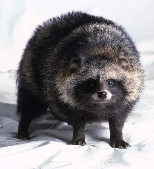 Tanuki raccoon dog Japan