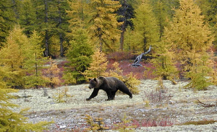 bear armed with two guns on the loose in Russia
