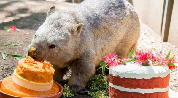 Australia S Oldest Wombat Celebrates Her 31st Birthday