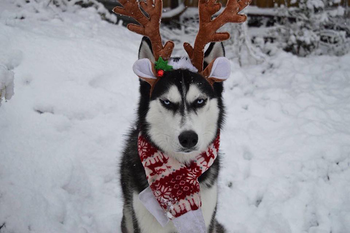 husky anuko grinch funny reindeer pictures Christmas unimpressed
