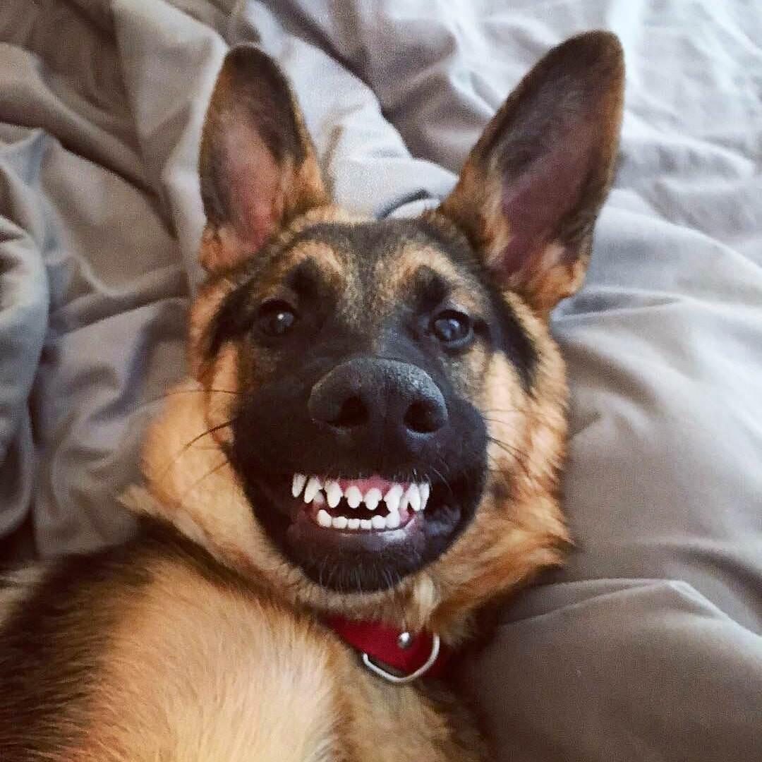 dog handsome funny smile