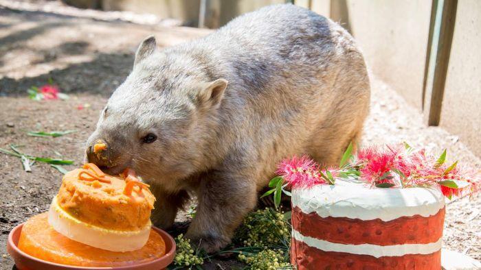 winnie wombat oldest wombat birthday 31