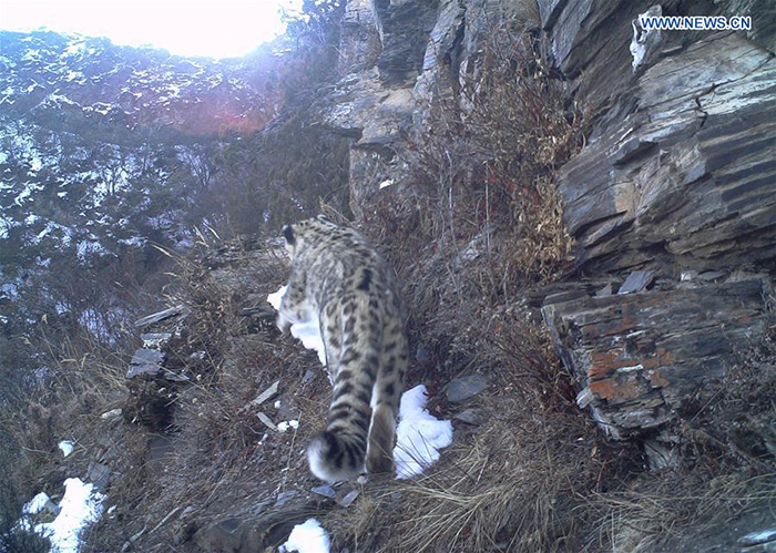 snow leopard on camera in tibet