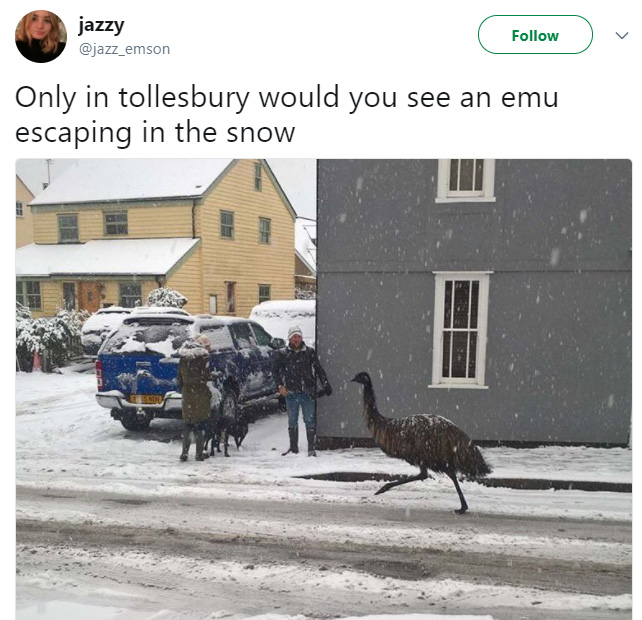 Renegade Emu Escapes Farm And Goes For A Jog Through Town