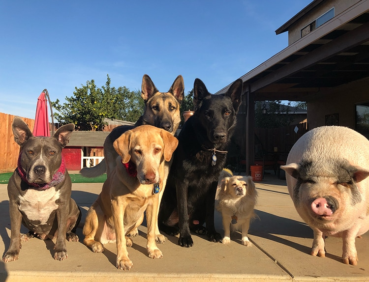 pig raised with dogs