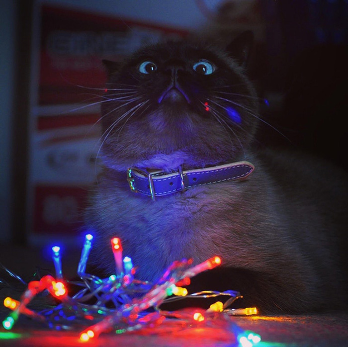 funny cat picture with christmas lights