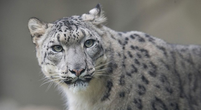 snow leopards spotted in tibet