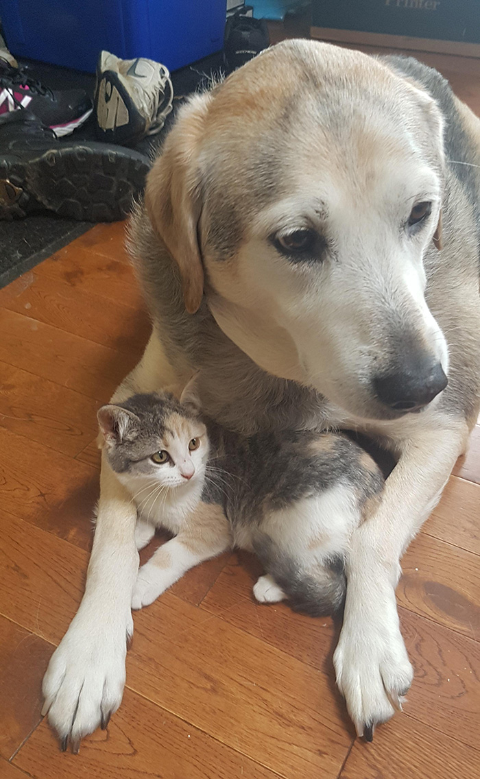 therapy dog gets kitten for Christmas