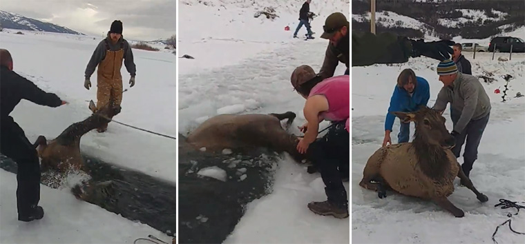 wyoming residents save elk fell through ice