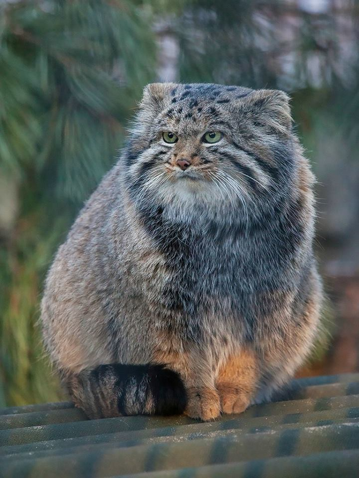 Pallass cat a small wild cat that lives in central asia publicscrutiny Images