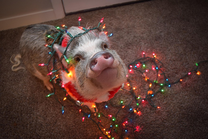 pig helps decorate Christmas tree