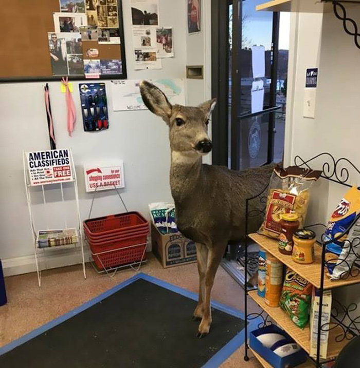 deer enters store in colorado returns with family