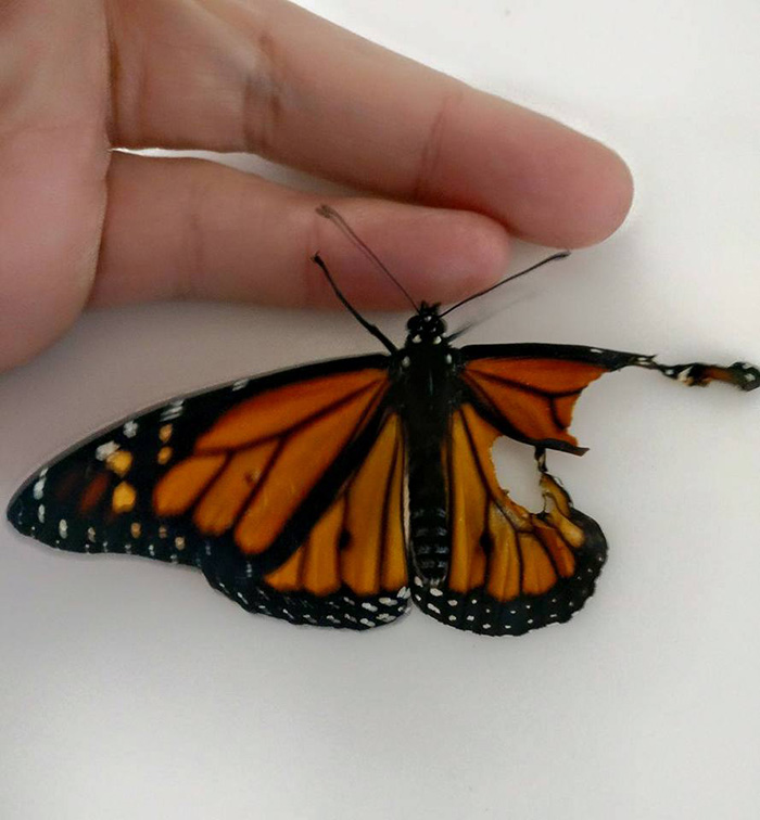 woman performs surgery on butterfly