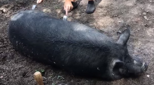 Forking A Pig Helps Them Relax And Its Adorable