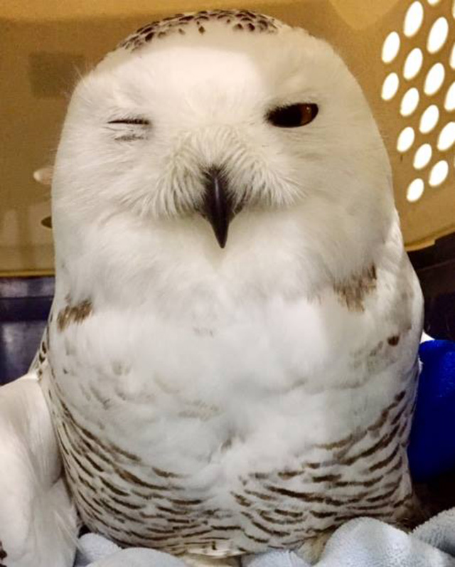 snow owl hit and rescue in SUV