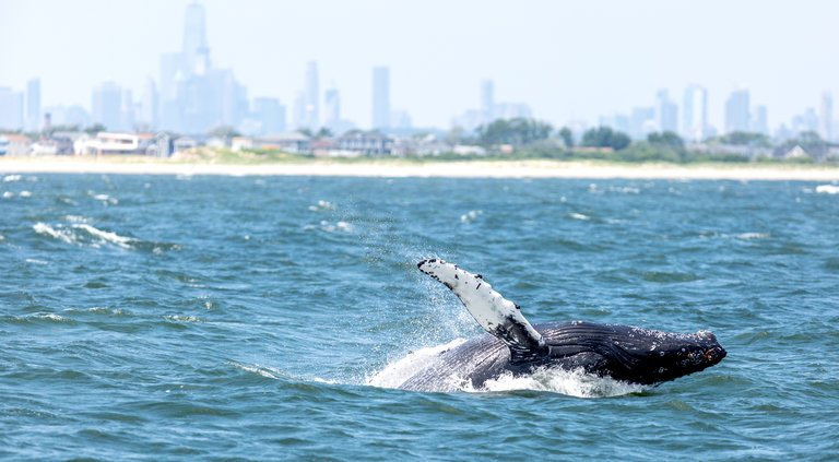 whales return to NYC after century