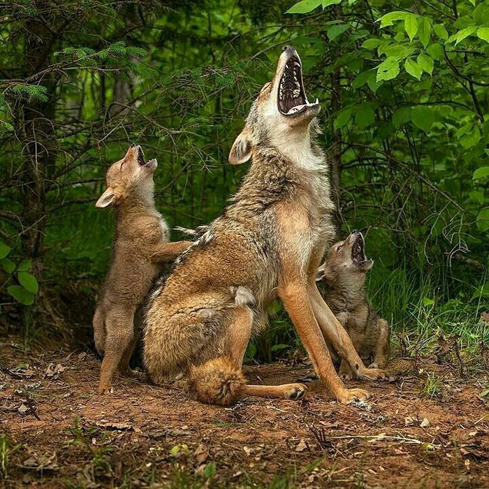 coyote pups howling