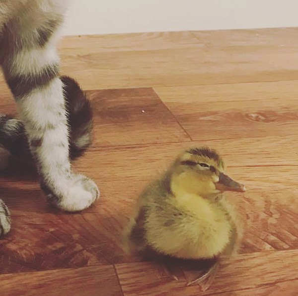 orphaned duck adopted by cats