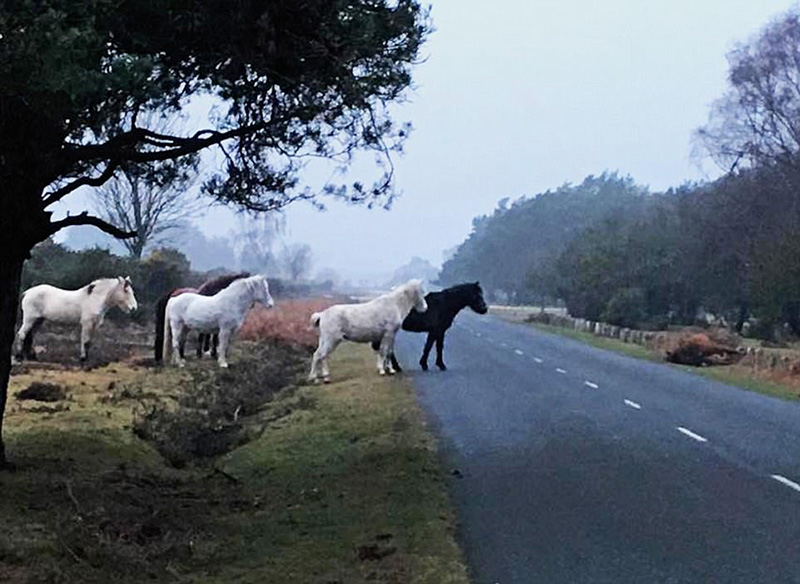 wild ponies grieve over friend hit by car