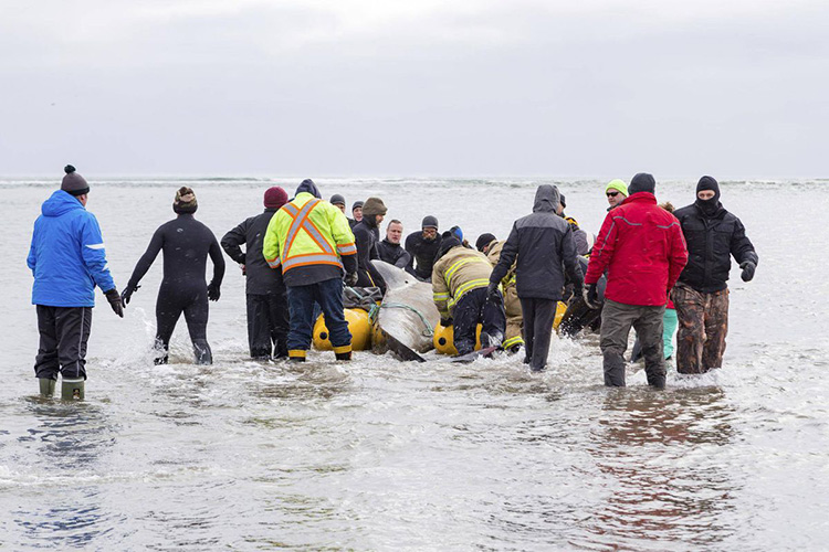 100 people save beached whale