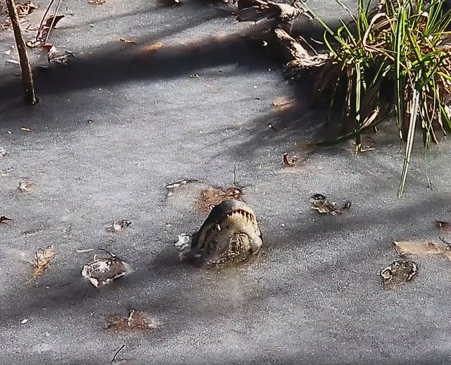 alligators survive ice video funny