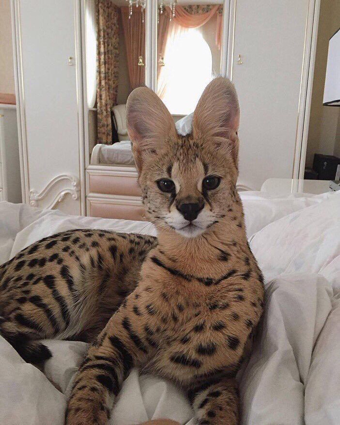 Savannah cat beautiful