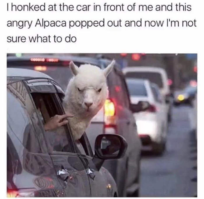 alpaca in car