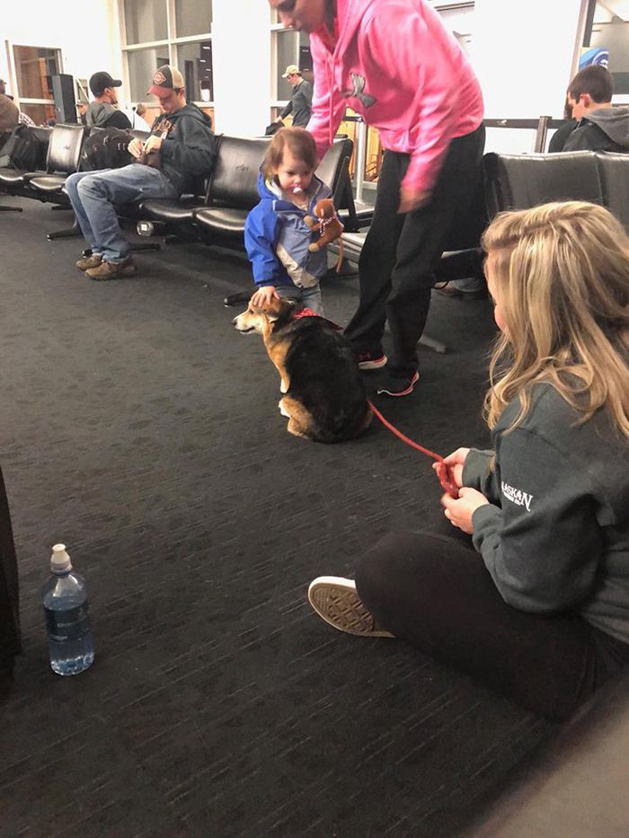 corgi comforts stranger at airport