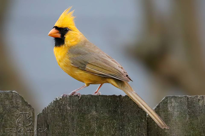 yellow cardinal alabama