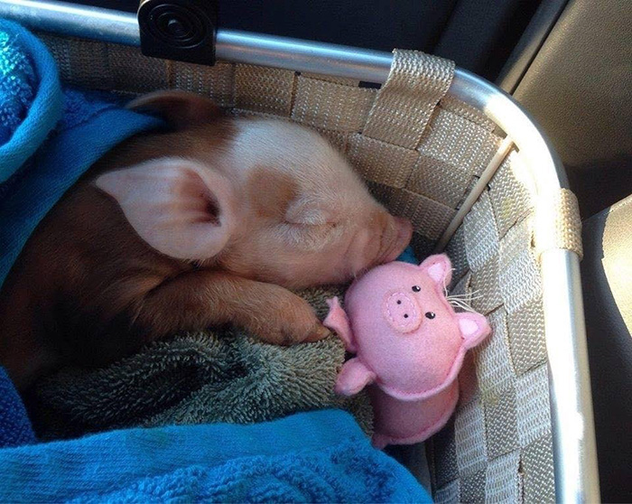 sleeping piglet with her pig toy