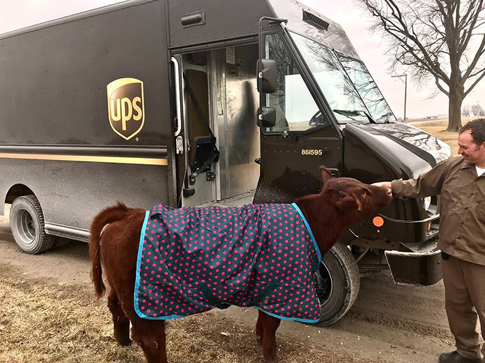 cow greets UPS driver