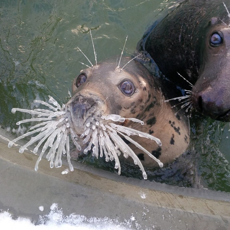 seal frozen whiskers
