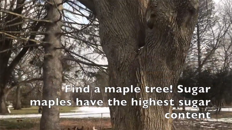 drill hole in maple tree how to make maple syrup