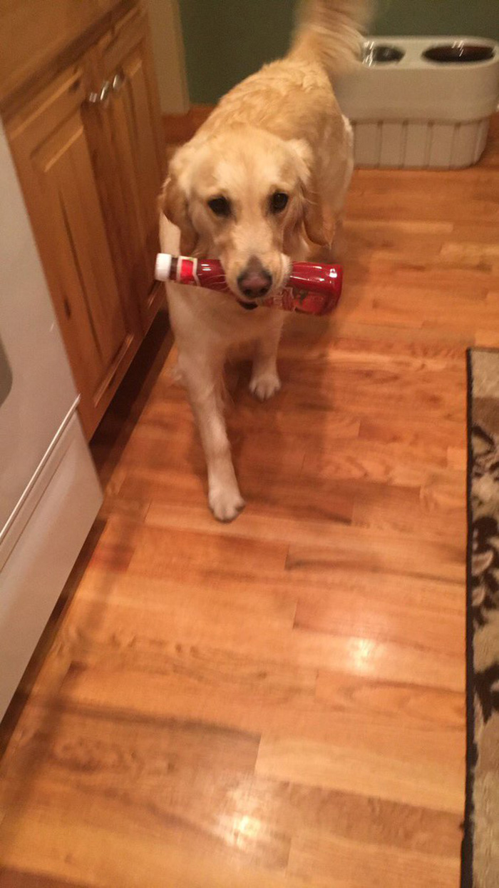 dog retrieves random objects for attention