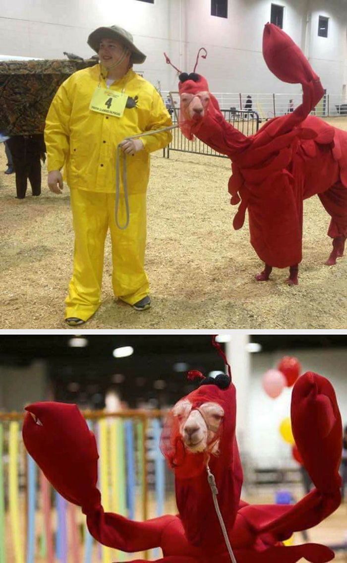llama in lobster costume